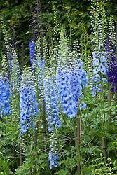 Delphinium 'Blue Jade'