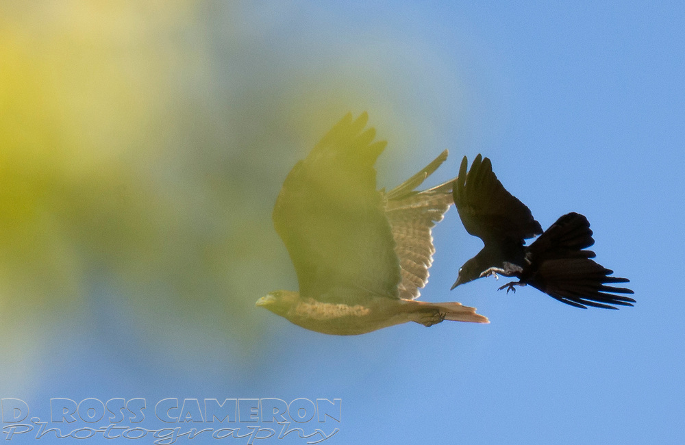 A red-tailed hawk is harassed by a murder of crows who want the raptor out of their territory, Thursday, Sept. 19, 2019, in Oakland, Calif. (Photo by D. Ross Cameron)