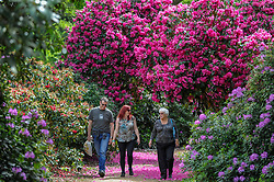 © Licensed to London News Pictures. 16/05/2017. Wexham, UK.  Visitors enjoy the variety of rhododendrons which are flowering in the Temple Gardens of Langley Park.  A former royal hunting ground, Langley Park has links to King Henry VIII, Queen Elizabeth I and Queen Victoria.  Each year, the masses of flowers bloom from March to June.<br />  Photo credit : Stephen Chung/LNP
