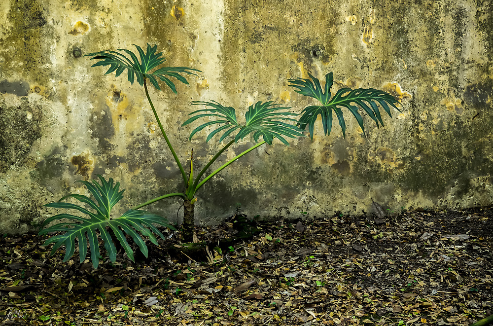 A Monstera up against a beautifully textured wall in the Biologic garden in Lisbon Portugal.
