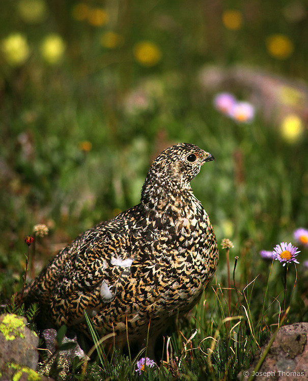 A ptarmigan surrounded by alpine wildflowers dons its summer plumage.