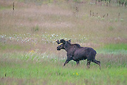 The moose jogs through the tall grass of Sinlahekin Natural Area as it heads in the hills and away from Forde Lake.