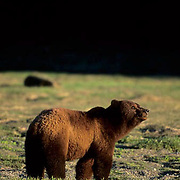 Alaskan Brown Bear, (Ursus middendorffi) In Southeast Alaska.