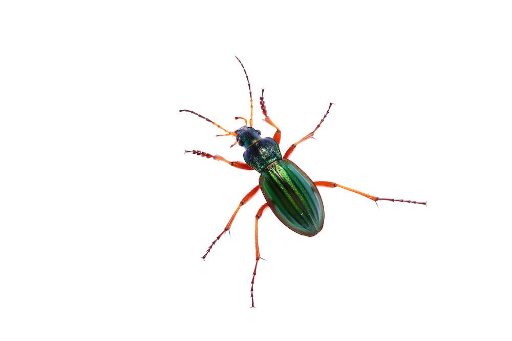 Golden ground beetle, Carabus auratus, Queyras, France, Europe