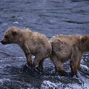 Alaskan brown bear (Ursus middendorffi) pair of cubs at Brooks Falls on the Brooks River, Alaska.