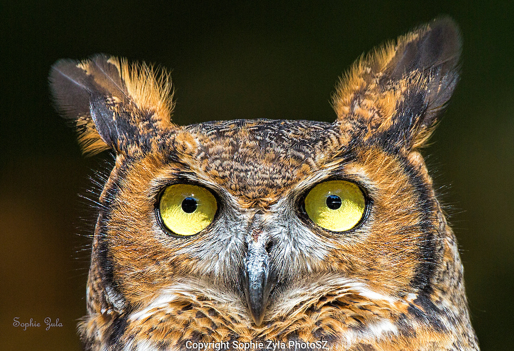 Great Horned Owl Amber APCH