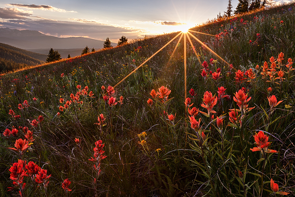 An ocean of Indian Paintbrush is lit aglow by the setting sun. Backlighting makes flower pedals more vibrant and can even cause a halo effect.