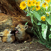 Red Fox (Vulpus fulva) kits at a den entrance near Arrowleaf Balsamroot flowers.  Montana. Captive Animal.