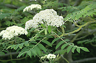 Rowan - Sorbus aucuparia Rosaceae. Height to 20m <br /> Open, deciduous tree. Bark Silvery-grey, smooth. Branches Ascending with purple-tinged twigs and hairy buds. Leaves Pinnate, with 5–8 pairs of ovate, toothed leaflets, each to 6cm long. Reproductive parts Flowers to 1cm across with 5 white petals; in dense heads. Fruits rounded, scarlet, in clusters. Status Locally common native; also widely planted.