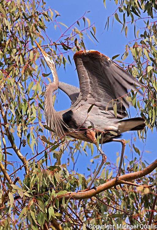Great Blue Heron after landing in its Eucalyptus tree.  At Lake Murray