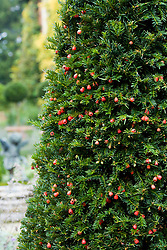 Yew with berries - Taxus baccata