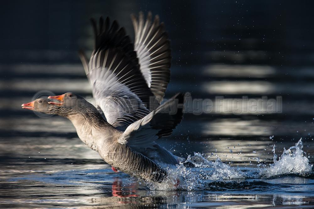 Escaping Gray goose with golden background   Grågås i flukt med gylden bakgrunn