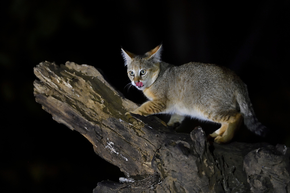 Jungle cat, Felis chaus, Kanha National Park and Tiger Reserve, Madhya Pradesh, India