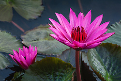 Water Lily, magenta #3horiz