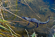 A young female alligator floats in a canal running through Big Cypress National Preserve.