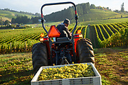 Saffron Fields chardonnay harvest 2019, Yamhiil-Carlton AVA, Willamette Valley, Oregon