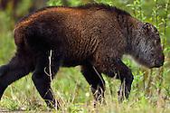 Sichuan or Tibetan Takin, Budorcas taxicolor tibetana, young calf that lost his mother, Tangjiahe National Nature Reserve, NNR, Qingchuan County, Sichuan province, China