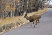 A whitetail buck runs across a paved road in autumn