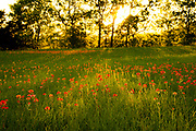 Low, raking light paints a warm vignette of Indian paintbrush as the day nears its end, Phillipsburg Church Road, Brenham, Texas