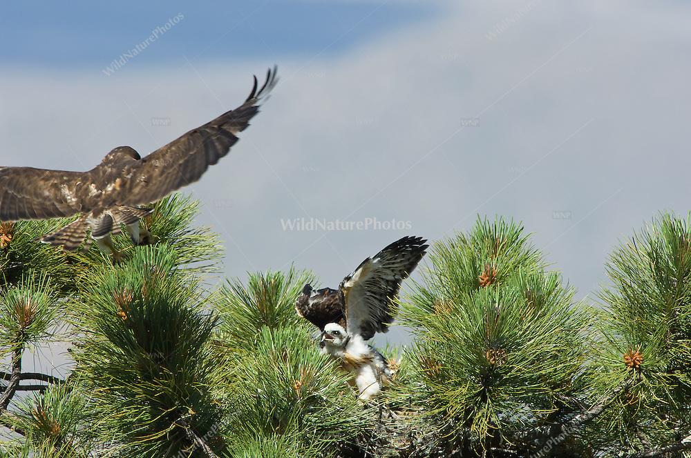 Adult Short-tailed Hawk (Buteo brachyurus) bringing prey to nest, with nestling eagerly awaiting a meal;  Arizona, (Nesting Record)