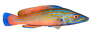 Cuckoo Wrasse Labrus mixtus Length to 30cm<br /> Colourful distinctive wrasse. Found on rocky coasts, venturing inshore in summer months. Adult has a rather slender body. Male is mostly blue on head, flanks and tail, and pinkish-orange elsewhere. Female is orange with black spots at base of dorsal fin. Widespread and locally common in S and W; almost absent from coast of E England.