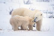 Polar bear sow with cub