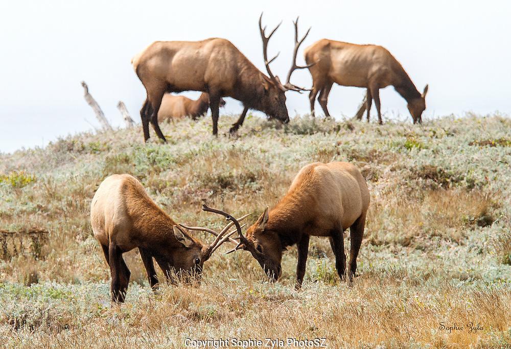 That moment between Elk when grazing becomes jousting