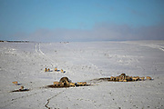 Sheep in a snowy field gather around their feeding stations in Stow on 23rd of January 2021, Scottish Borders, United Kingdom. During winter time, when the ground is covered with snow the sheep rely on fodder provided by the farmer. The field is above the village Stow, near Galashields.