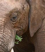 A female African elephant (Loxodonta  africana) munches on green vegetation. Tarangire National Park, Tanzania.