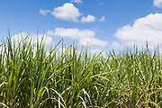 Field of sugar cane on farm under blue sky and cumulus cloud in Pine Creek, Queensland, Australia <br />