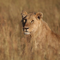 A lioness looks out from the grass of the Masai Mara in Kenya.<br /> Photo by Shmuel Thaler <br /> shmuel_thaler@yahoo.com www.shmuelthaler.com