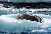 Weddell Seal (Leptonychotes weddellii) at Astrolabe Island, Antarctic Peninsula.
