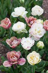 Tulipa 'White Touch', 'Danceline' and 'La Belle Époque'  in a glass vase