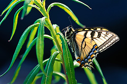 Swallowtail butterfly on fireweed