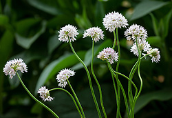 Allium amplectens 'Graceful Beauty' - Narrowleaf onion