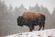 Bison in Yellowstone National Park, Wyoming.