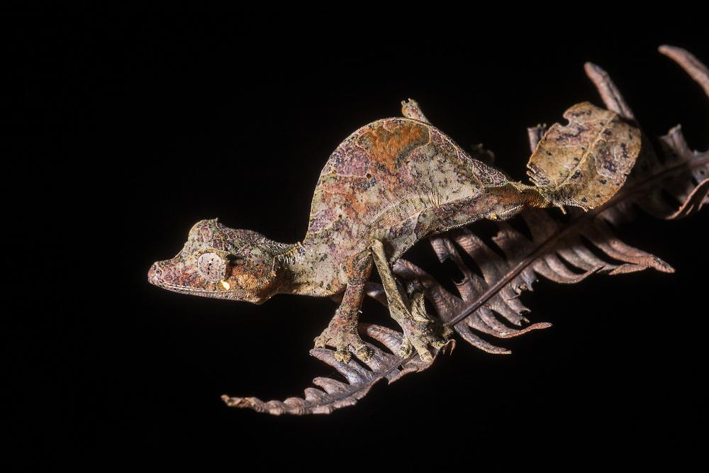 Satanic leaf-tailed gecko (Uroplatus phantasticus)<br /> East Madagascar<br /> Mantadia National Park<br /> MADAGASCAR<br /> ENDEMIC