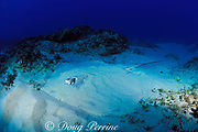 leopard ray, coachwhip ray, or honeycomb stingray, Himantura uarnak, Manta Bommie, N. Stradbroke Island, near Brisbane, Queensland, Australia ( Pacific Ocean )