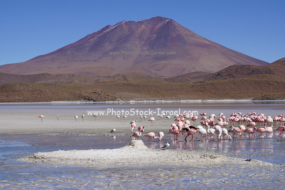 Bolivia, A flock of flamingoes at Salar de Uyuni (or Salar de Tunupa) is the world's largest salt flat