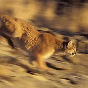 Mountain Lion or Cougar, (Felis concolor) Running. Rocky mountains. Montana. Captive Animal.