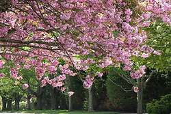 Cherry Blossom Trees blooming in Southampton, NY