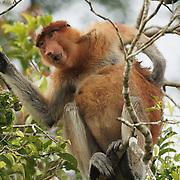 Proboscis monkey (Nasalis larvatus) feeding on leaves.  Sekonyer river, Tanjung Puting National Park. Borneo