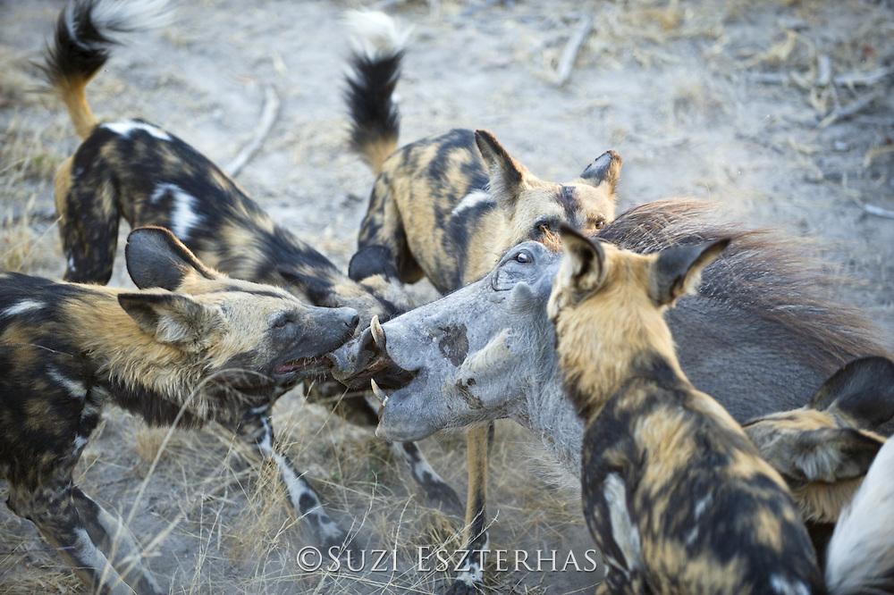 African Wild Dog<br /> Lycaon pictus<br /> Attacking warthog<br /> Northern Botswana, Africa<br /> *Endangered species