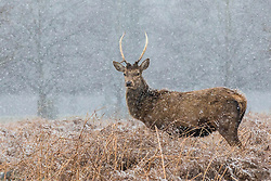 © Licensed to London News Pictures. 17/03/2018. London, UK. A young stag in Bushy Park, southwest London, as more snow falls over the capital. Photo credit: Rob Pinney/LNP