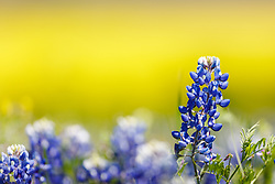 Texas bluebonnets on hillside with background of yellow, Ennis, Texas. USA.