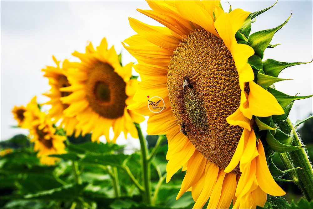 Sunflowers Sarah McGee