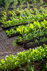 Salad leaves sown into gutter pipes for easy transfer to garden