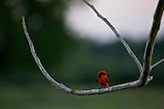Aquidauana_MS, Brasil...Passaro no galho de uma arvore na fazenda Rio Negro no Pantanal...A bird in banch tree in Rio Negro farm in Pantanal...Foto: JOAO MARCOS ROSA / NITRO