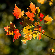 A single branch of bright red maple leaves in a massachusetts forest