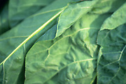 Close up selective focus photo of  a bunch of Collard Greens